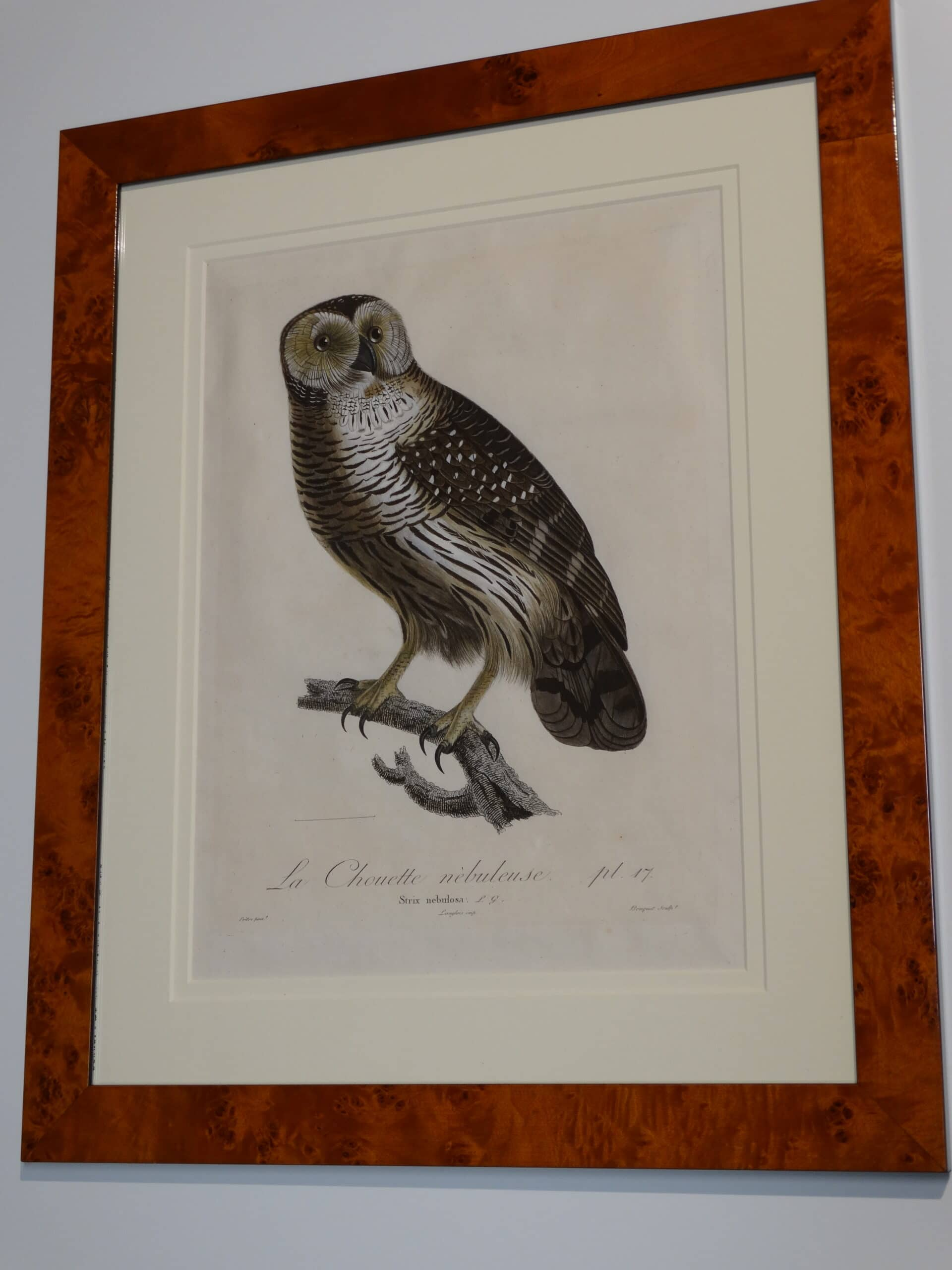 1802 Viellot & Audebert ornithology etching with watercolors of the Great Grey Owl.