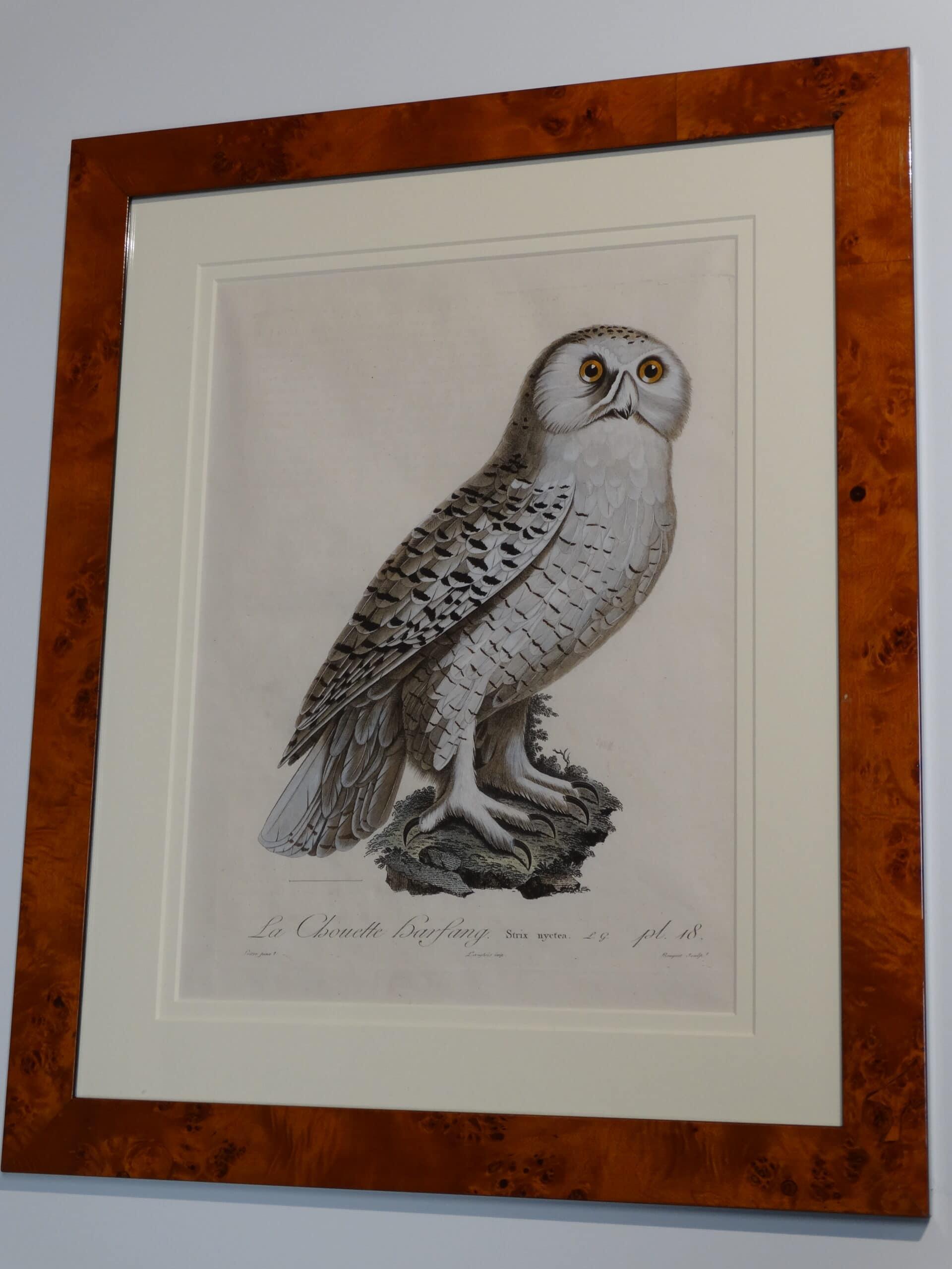Viellot & Audebert Snowy Owl antique engraving