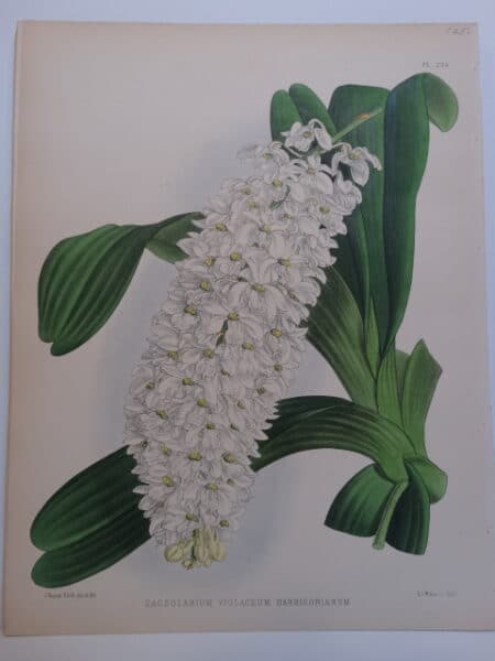 Plate number 236 from Orchid Album. Lithography by Nugent Fitch.