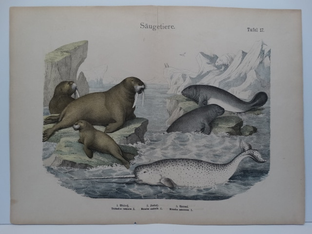 Mid 19th century watercolor lithograph. Shubert bookplate of Walrus, Manatees and Narwhale.
