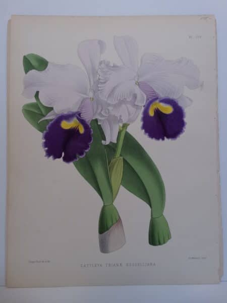 Striking 19th century artwork by Nugent Fitch lithographer to Orchid Album.