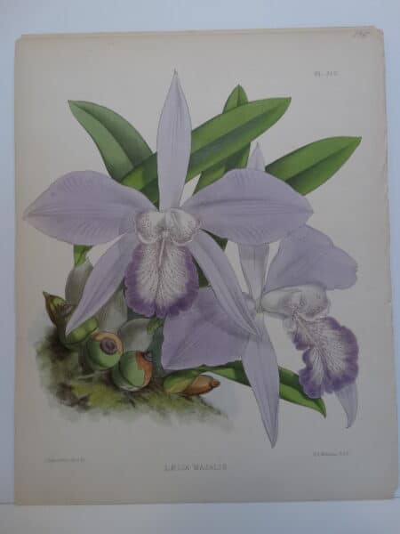 135 year old lithograph of Mayflower orchid of Mexico. Dusty purple colored bloom spikes.