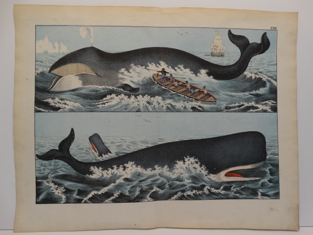 Pristine historic scene published c.1870 hand-colored lithograph of toothed & baleen whales. One whale is breeching.