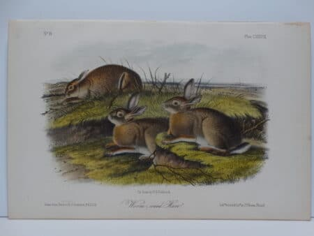 Original hand-colored lithograph of worm wood hare rabbits.  John James Audubon Viparious Quadrupeds of North America 1855.