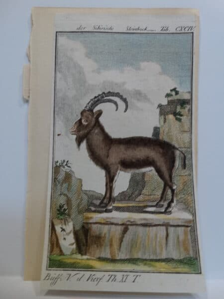 3 1/4 x 6 inch 220 years old watercolor engraving by Compte de Buffon c.1800.