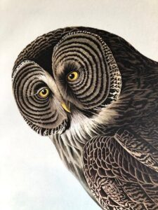 Owls are called strix, bubo, ibis, noctua in other languages. Each owl species is greatly varied from another.