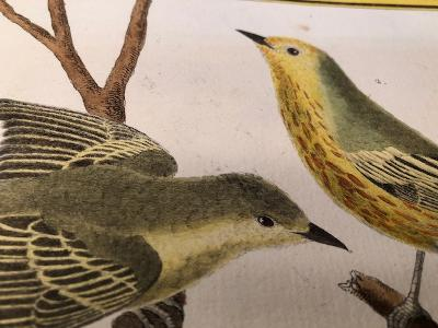 Decorative antique song bird engravings & lithographs over 100 years old.