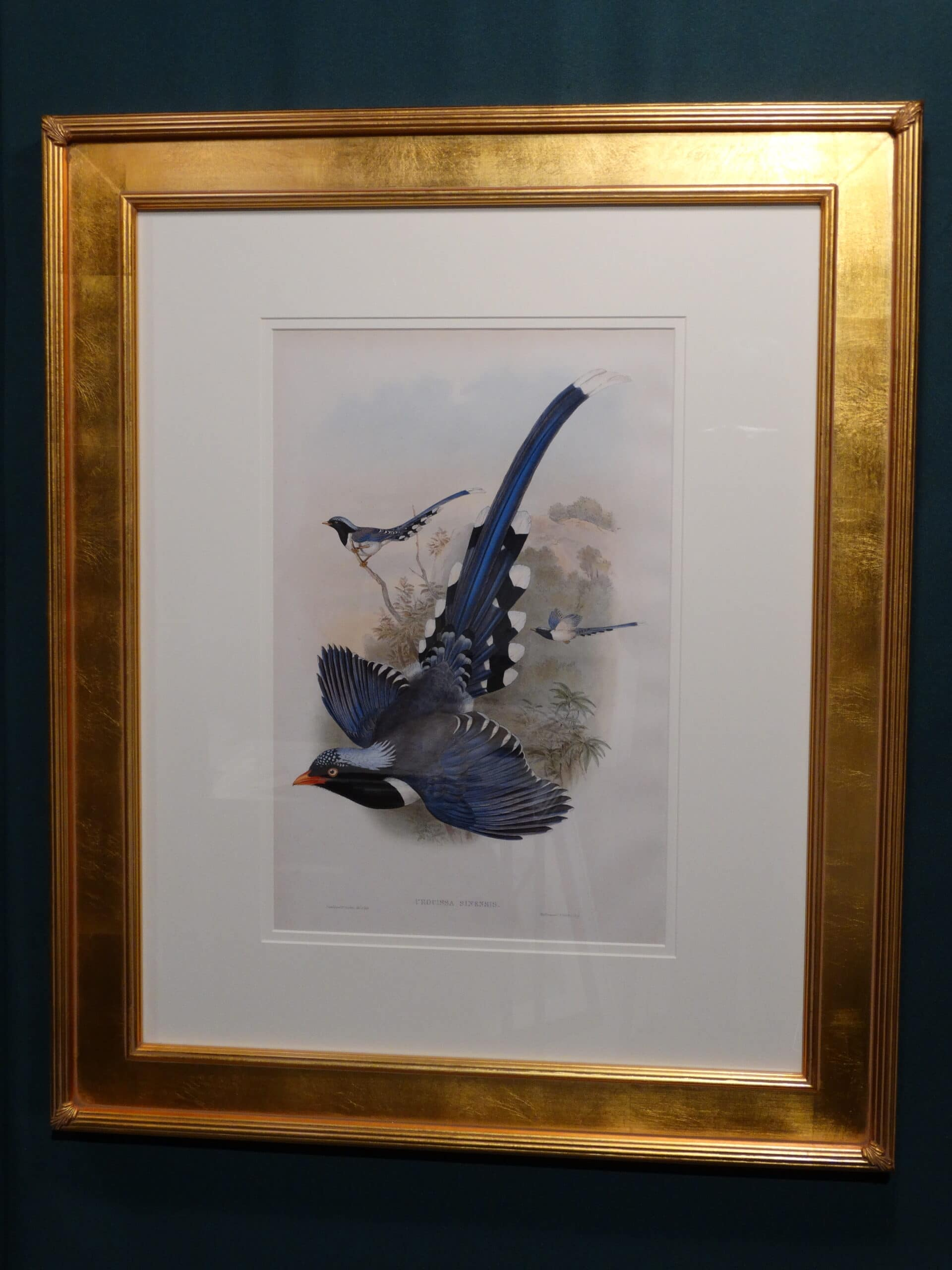 Set of three John Gould song birds. Decorative blue colored birds with long tails.