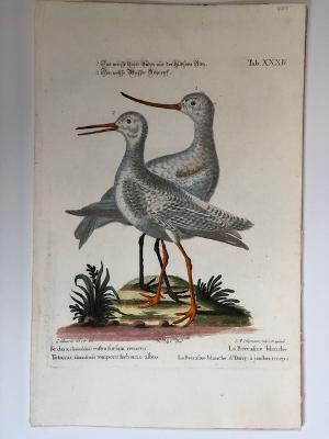 18th century decorative antique engraving of White Godwit & White Redshank or Pool-Snipe