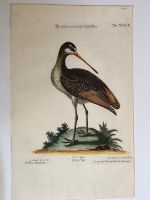 Greater American Godwit