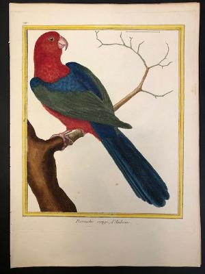 Exceptional example of an 18th century antique print or hand-colored engraving of a Martinet parrot.