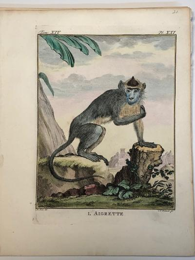 Aigrette or Macaques Monkey of India Plate XXI