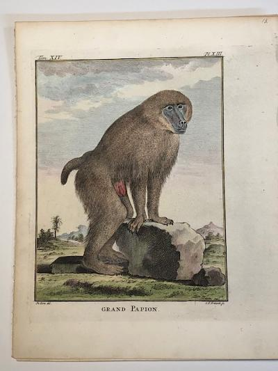 Baboon or Grand Papion 18th century engraving XIII