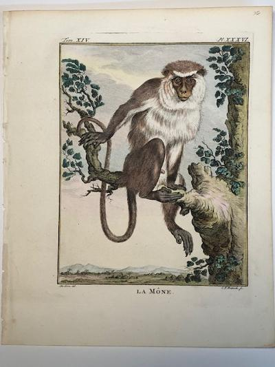 An old world monkey from Africa. This rare Mone engraving is sourced from Buffon's 1st edition of Histoire Naturelle 1749-1761.