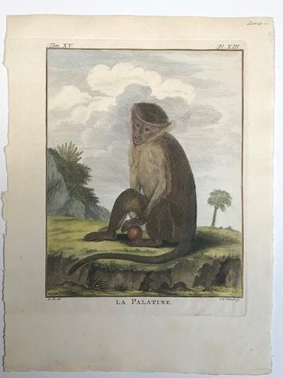 Palestine monkey engraving sourced from Buffon's 1st edition of Histoire Naturelle 1749-1761.