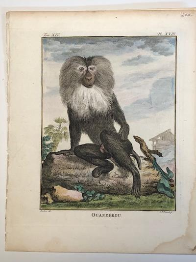 Rare monkey engraving sourced from Buffon's 1st edition of Histoire Naturelle 1749-1761.