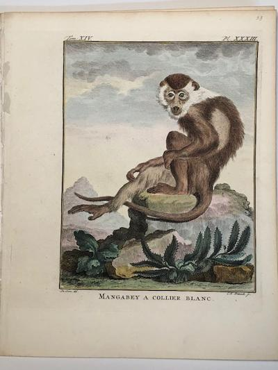 White collared monkey engraving sourced from Buffon's 1st edition of Histoire Naturelle 1749-1761.