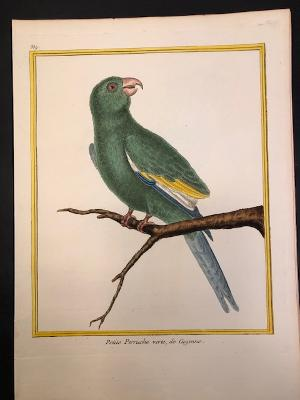 A delightful 18th century Francois Martinet hand colored engraving of a Little Green Parrot of Cayenne