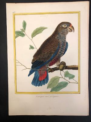 Perroquet varie Cayenne Martinet parrot engraving from the 18th century.408