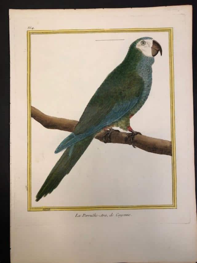 Martinet Perruche Ara Green Macaw of Cayenne by Martinet 1770-1763
