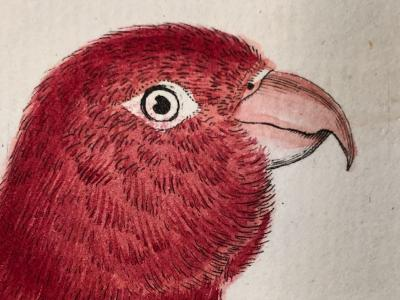 18th century watercolor engravings of parrots