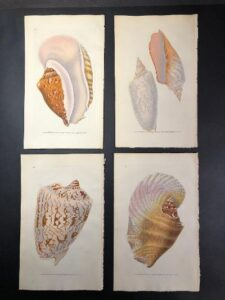 Exceptional set of four, 1820's engravings of seashells, with original watercolors, photo taken prior to picture framing.