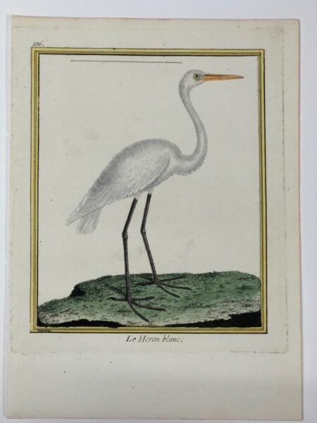 240 year old Martinet birds engraving with watercolors of Le Heron blanc or Great Egret or Egretta thula in Latin.