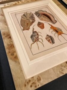 Rare engravings of seashells from Heinrich Carl Kuster's Systematisches Concholylien-Cabinet, framed.