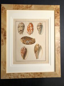 19th century hand colored engravings of seashells.