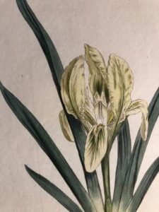 antique prints of Irises, Daffodils, Narcissus, Morning Glories, Cyclamen and Magnolias