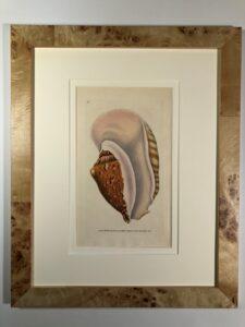 Set of six, 19th century, watercolor engravings of sea shells, blond burlwood frames.