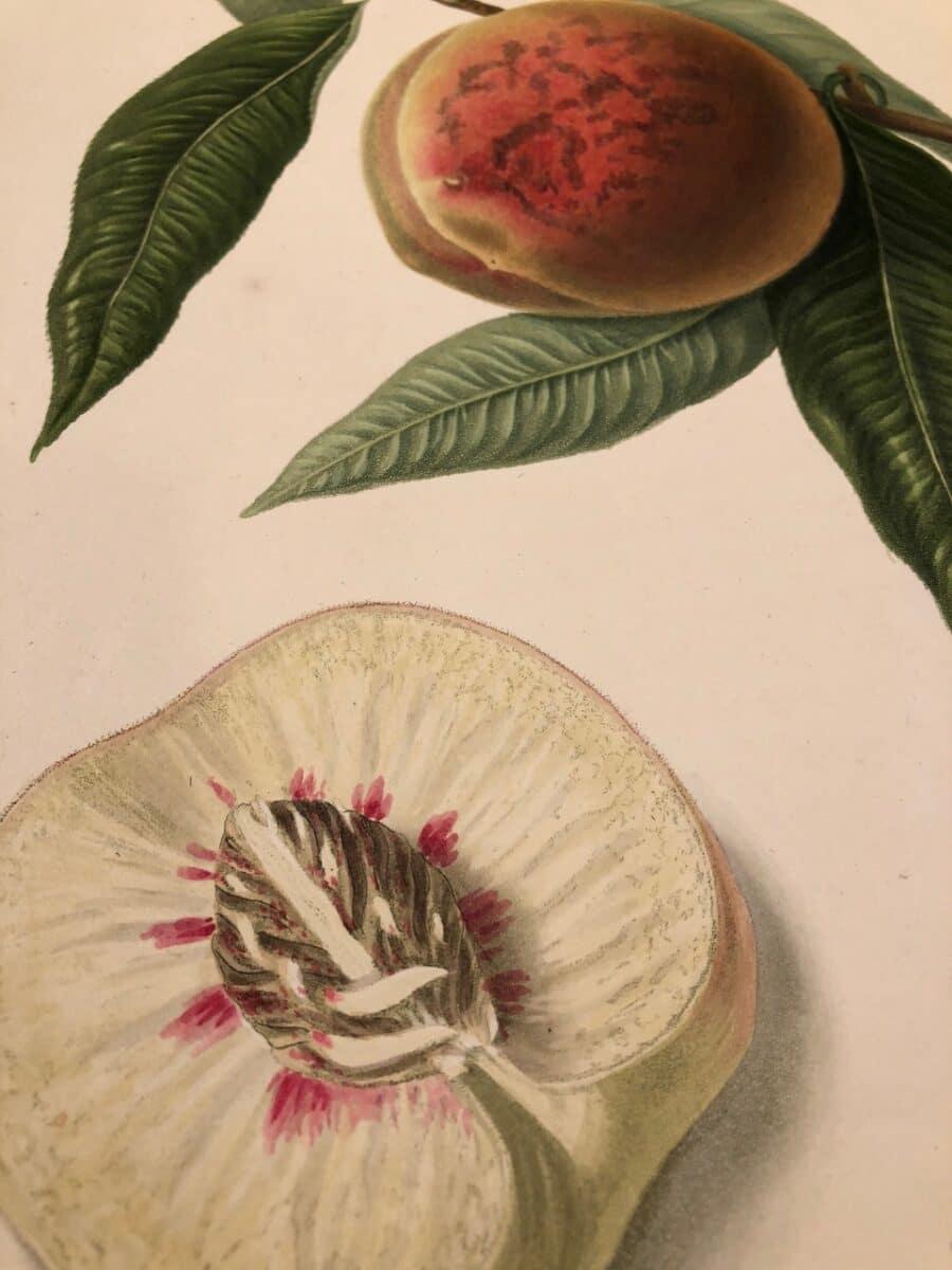 Rare lithograph Flowers and fruits 1950 Paul C\u00e9zanne