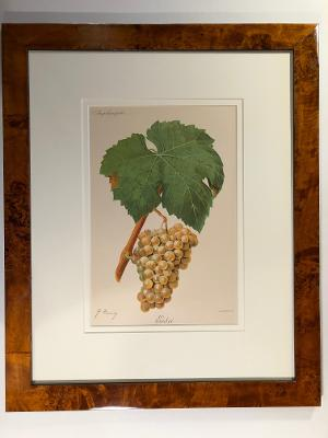 White grapes, one of a set of 3 or 6, framed antique wine lithographs.