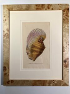 A set of six framed antique engravings of seashells. Unusual picture framing.