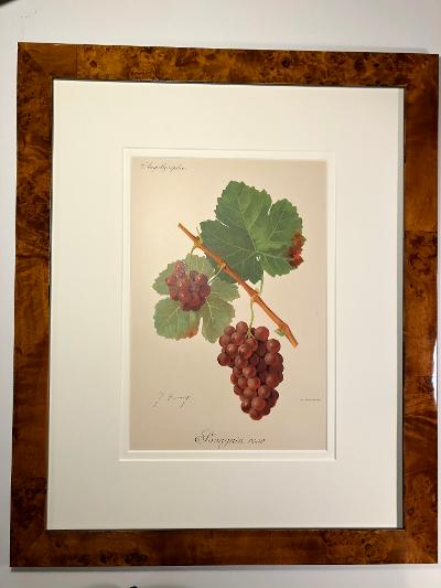 one from the set of 3 or 6, framed, antique wine prints.