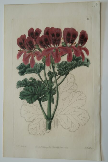 Red geraniums 1820's engraving, green leaves, for Robert Sweet.