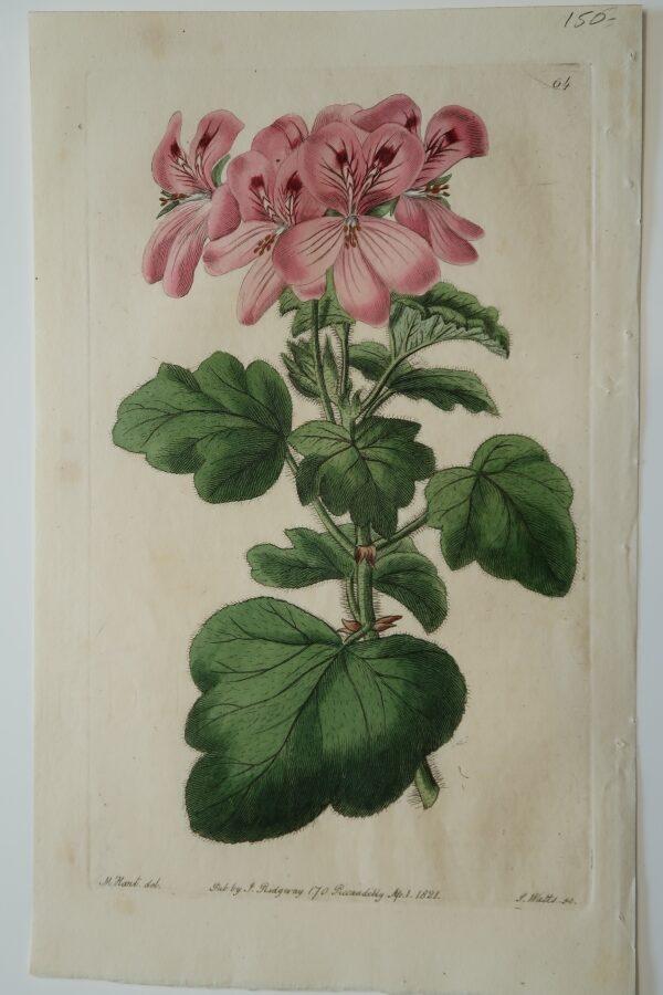 Robert Sweet Geranium Engraving of pink pelargoniums from 1821.