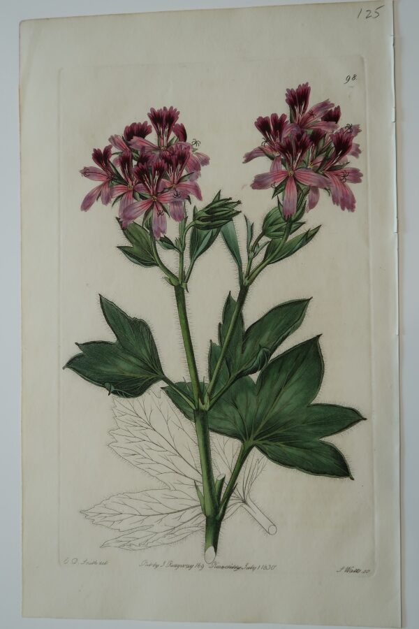 An 1830 bookplate engraving of geraniums, sourced from Sweet's work on the flowers.