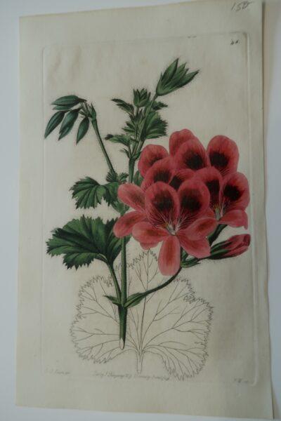 Antique Botanical Engraving Geraniums46