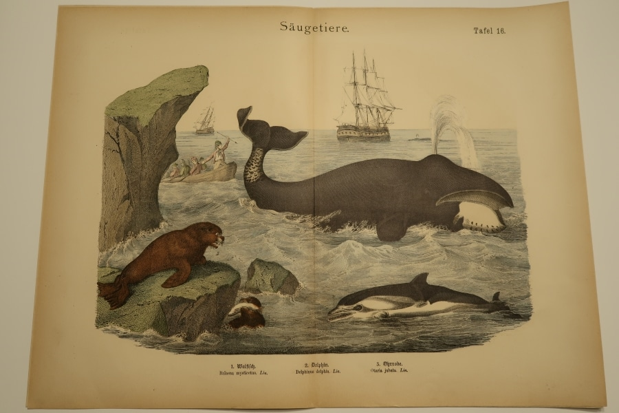 Whaling ships and different whales are depicted in this historic, antique whale print, or hand-colored engraving.