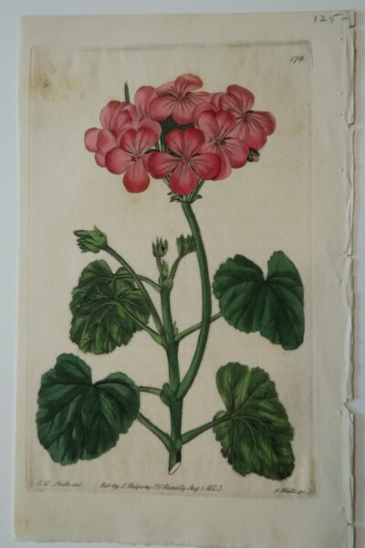 Antique Print Foxed Geranium-176