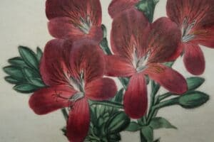 Searching around for brightly colored flowers to complete your interior design? Consider a set of, original geranium engravings from the 1820's.