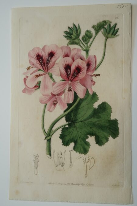 An original antique flower print, a hand-colored engraving of pink geraniums published by Ridgeway Sept 1, 1820.