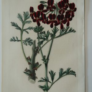 This artwork is an 1829 antique engraving, hand-colored, of dark red geranium.