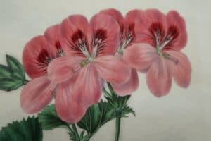 Our geraniums are sourced bookplates. They are over 100 years old, and are antiques.