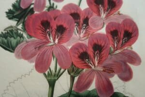 Antique prints of geraniums, over 100 years old.