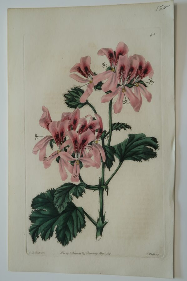Beautiful early 19th century, hand-colored engraving, of pink geraniums.