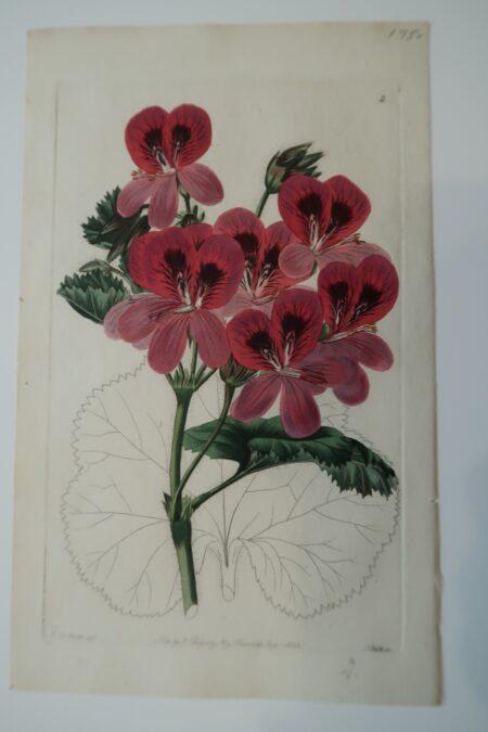 Pink Flower Engraving Sweet2, an antique flower engraving in dusty pinks.
