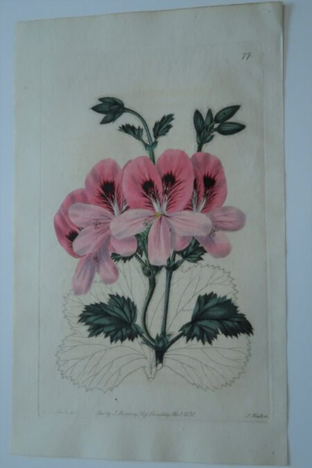 A striking, 190 year old flower engraving, stunning pink geranium, with leaf structure detailed.