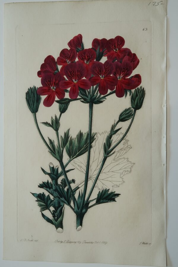 A velvety deep red geranium engraving from the 1830's.